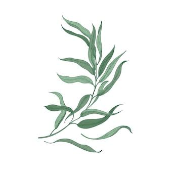 緑の葉が白い背景で隔離のユーカリの小枝。花飾りに使用される植物の自然な詳細図。