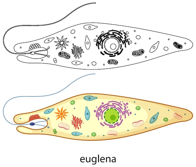 Euglena in colour and doodle on white background