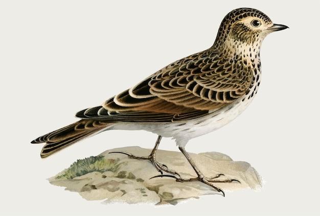 Uccello dell'allodola eurasiatica in stile disegnato a mano