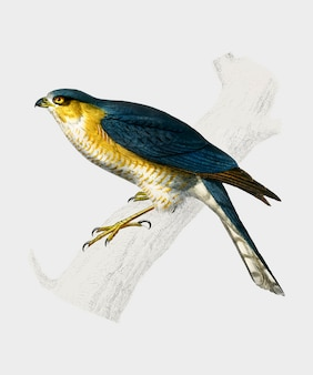 Eurasian sparrowhawk (accipiter nisus) illustrated by charles dessalines d'orbigny (1806-1876)