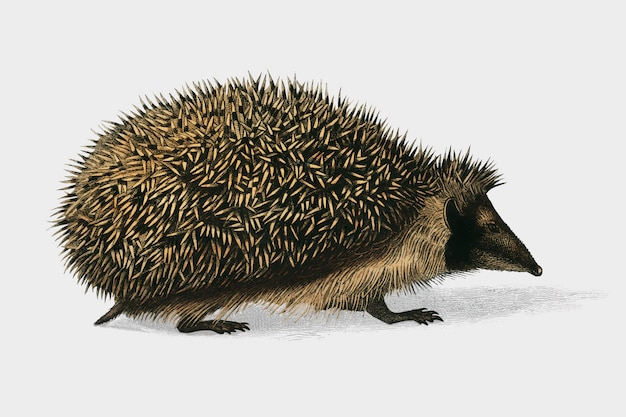 European hedgehog (erinaceus europaeus) illustrated by charles dessalines d'orbigny (1806-1876).