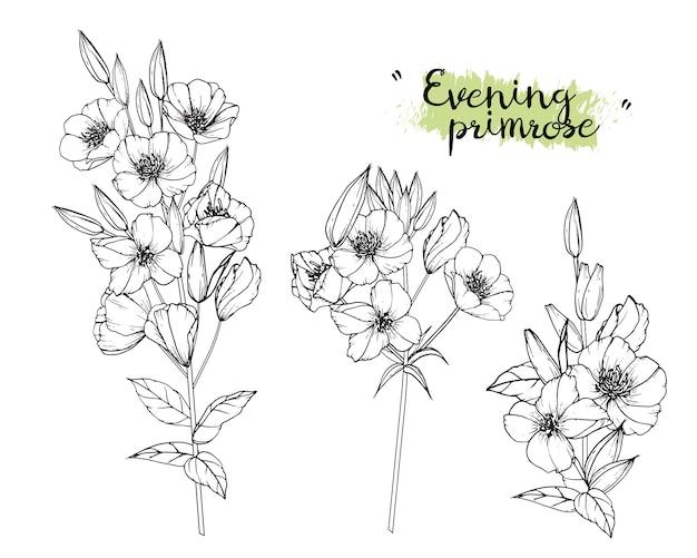 달맞이꽃 잎과 꽃 그림. 빈티지 손으로 그린 식물 삽화. vec