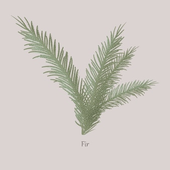 Evergreen fir tree, branches and needle leaves.