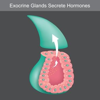 Экзокринные железы, секретирующие гормоны. иллюстрация, показывающая поперечное сечение для обучения экзокринных желез человека.