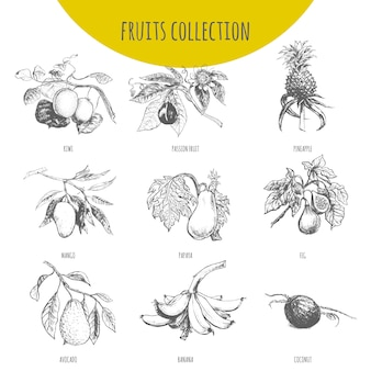 Exotic fruits botanical illustration sketch set