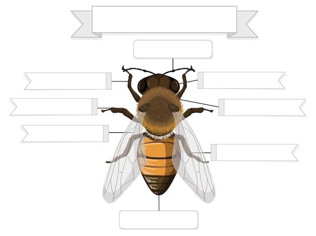 Foglio di lavoro anatomia esterna di un'ape