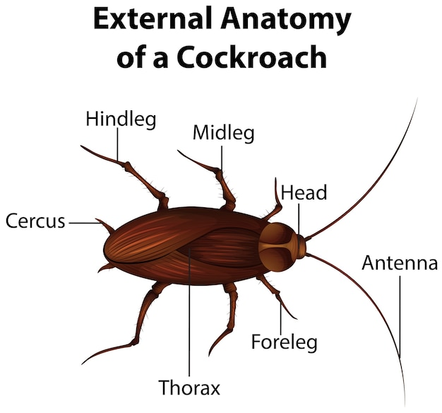 External anatomy of a cockroach on white background