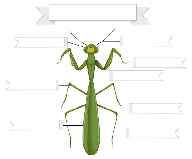 External anatomy of a mantis worksheet