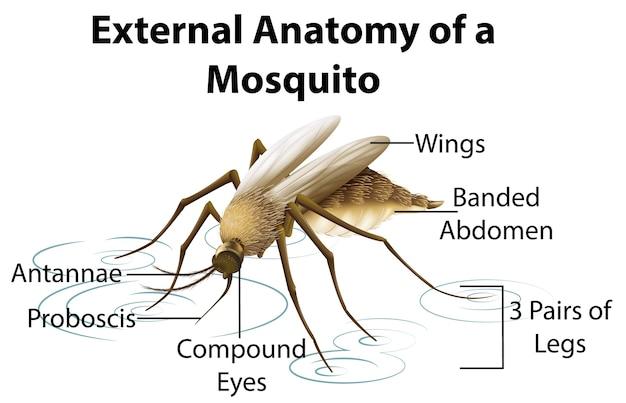 Anatomia esterna di una zanzara su sfondo bianco