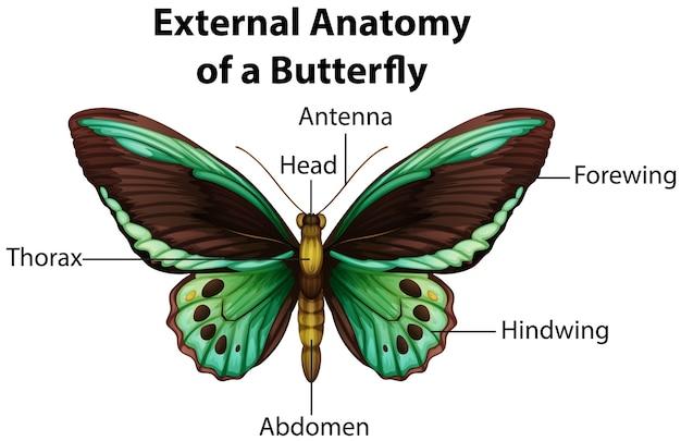 白い背景の上の蝶の外部解剖学