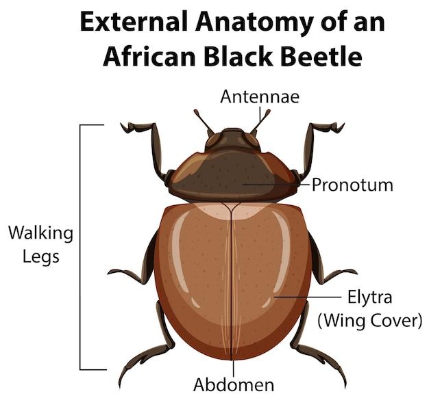 白い背景の上のアフリカの黒い甲虫の外部解剖学