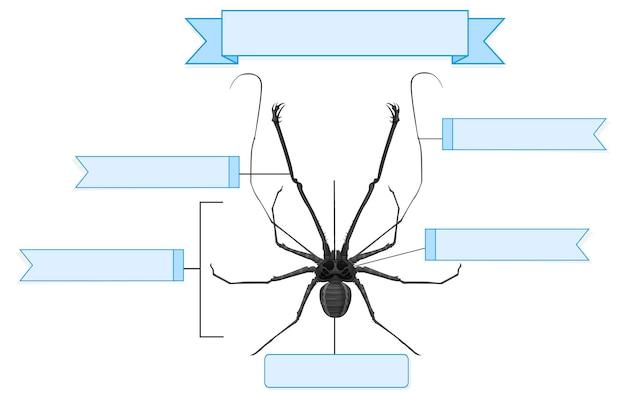 Foglio di lavoro anatomia esterna di un ragno frusta