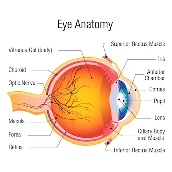 Eye anatomy info concept, cartoon style