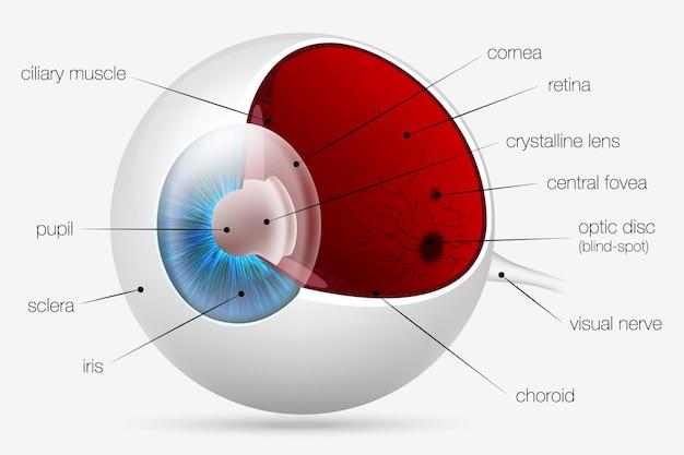 Eye parts.