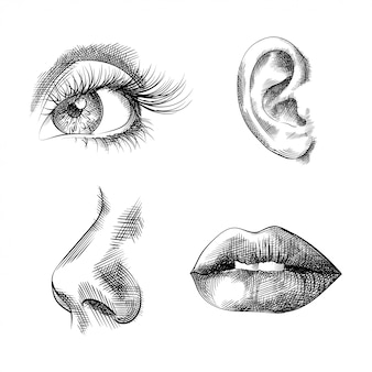 Face parts hand drawn sketches, eye, ear, nose, lips