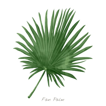 Fan palm leaf isolated on white background