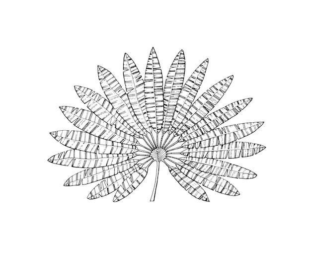 ファンヤシ植物熱帯またはエキゾチックな葉と葉ヴィンテージシダ刻まれた花手描きの植物