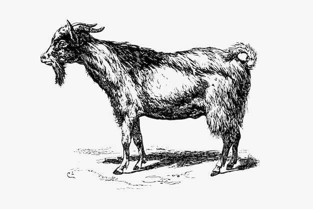 Farm goat animal drawing