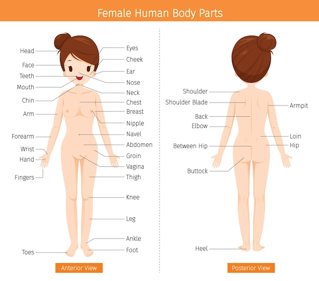 Female human anatomy, external organs body