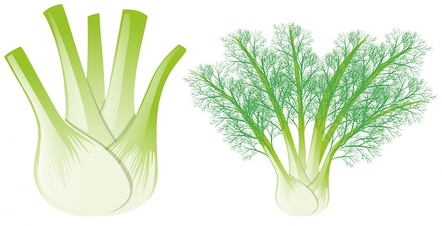 Fennel head and leaves