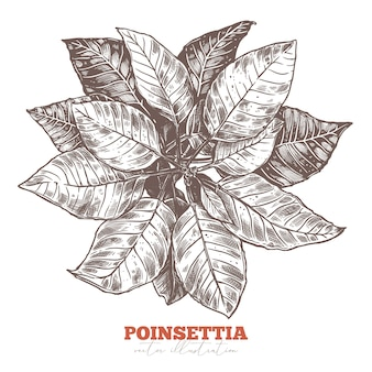 Festive floral decoration. poinsettia flower, christmas star holiday symbol and sign. sketch