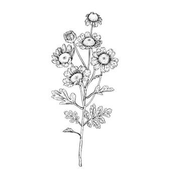 Feverfew daisy flower drawings