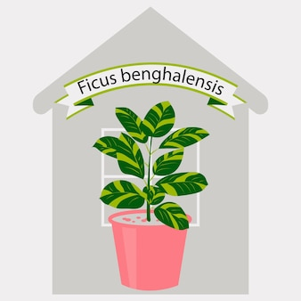 Ficus plant in a pink pot against the outline of the house decorative plant for home interior