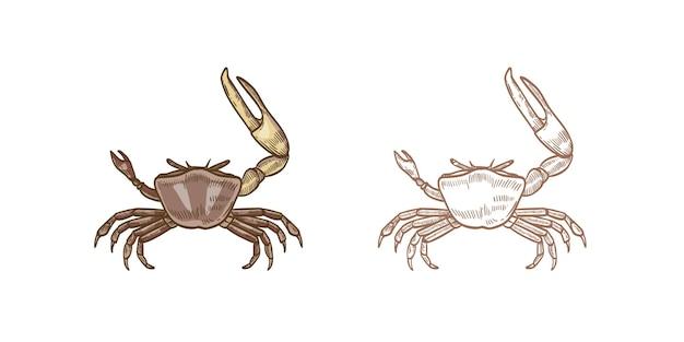 シオマネキのベクターイラストセットです。白い背景の上のカラフルなモノクロの手描きの甲殻類。レストランのシーフード、珍味の食べ物。はさみデザイン要素を持つ海の水中動物。