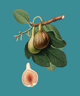 Fig from pomona italiana illustration
