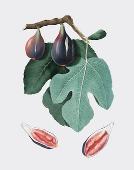 Fig from pomona italiana illustration