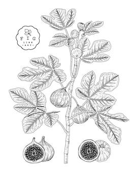 Fig fruit drawings