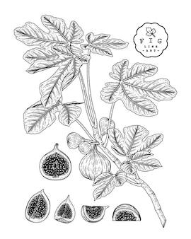 Fig fruit drawings.
