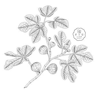 Рис рисованной ботанический, изолированные на белом фоне