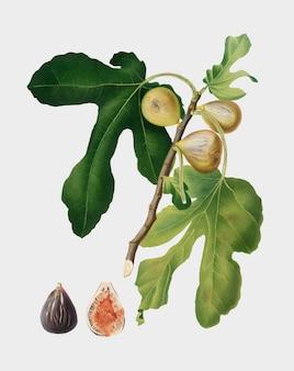 Figs from pomona italiana illustration