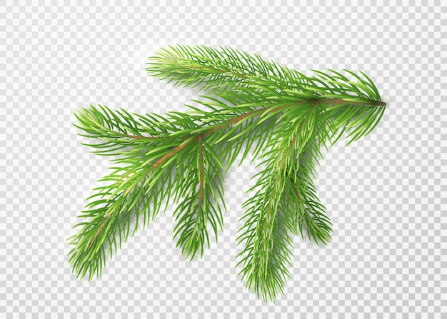 Fir branch. christmas tree decoration, pine needles isolated
