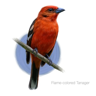 Flame colored tanager detailed illustration