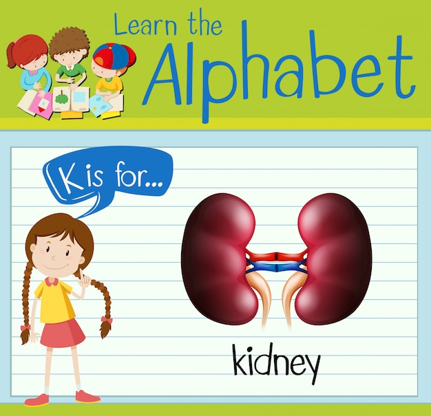 Flashcard letter k is for kidney