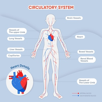 Flat circulatory system infographic
