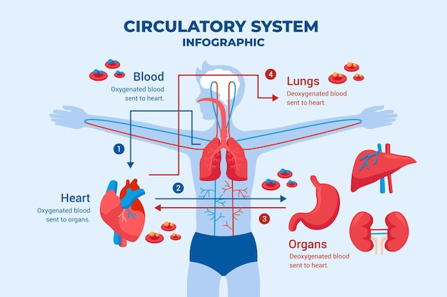Flat design circulatory system graphic