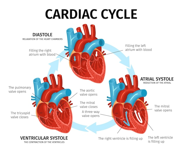 Flat infographic with heart anatomy and description of cardiac cycle