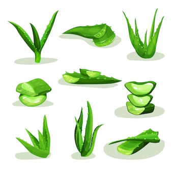 Flat   set of bright green aloe vera leaves and pieces. medicinal plant used in cosmetology and pharmacy.