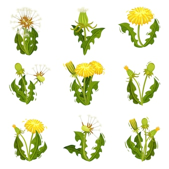 Flat   set of dandelions. wild herb with fluffy seeds. summer plant with bright yellow flowers. nature theme