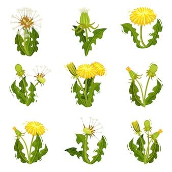 タンポポのフラットセット。ふわふわの種と野生のハーブ。鮮やかな黄色の花で夏の植物。自然のテーマ