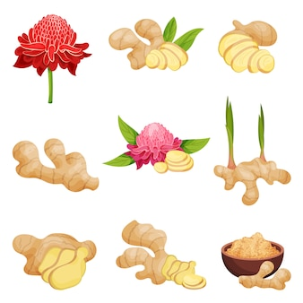Flat vector set of ginger icons. fresh roots with slices, flowers and powder.