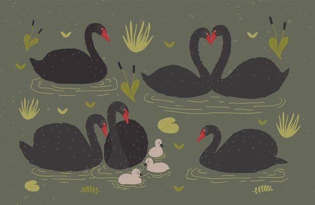 수생 식물 사이에 연못이나 호수에 함께 떠 다니는 검은 백조 무리와 백조 무리