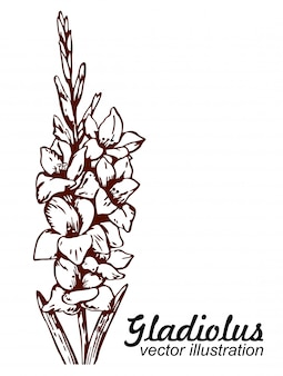 Floral blooming gladiolus hand drawn sketch.