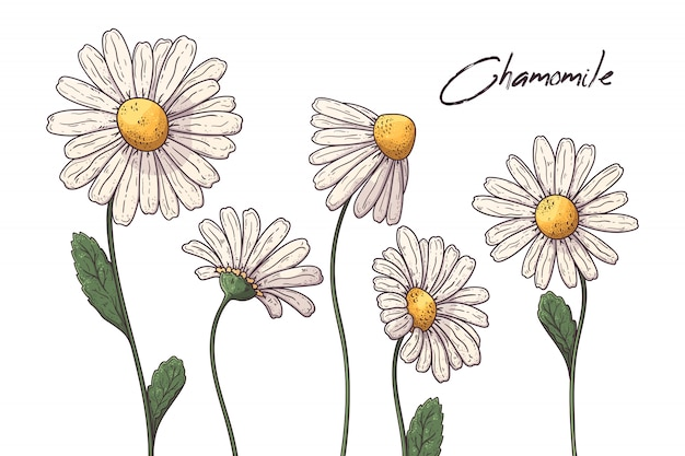 Floral botany illustrations.  chamomile flowers.