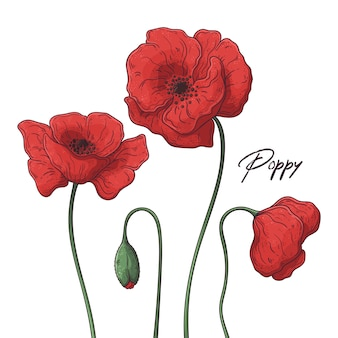 Floral botany illustrations.  poppy flowers.