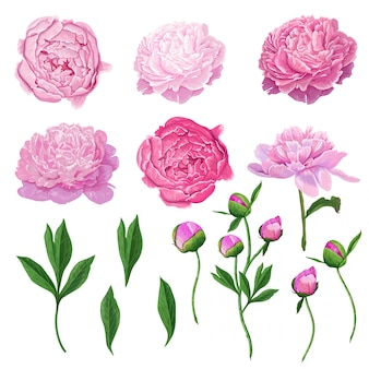 Floral elements pink blooming peony flowers