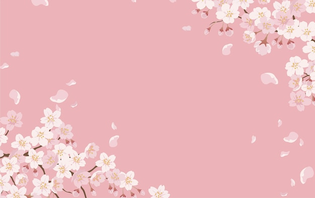 Floral with cherry blossoms in full bloom on a pink.